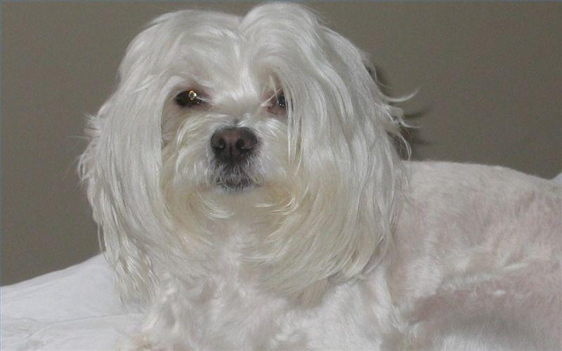 Maltese Hip Dysplasia Goldenacresdogs