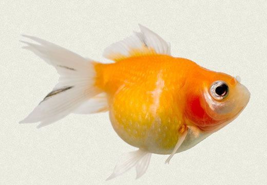 Pearlscale Red Fancy Goldfish | Tropicali