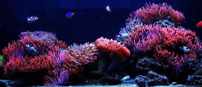 marvinsreef clownfish anemone tank