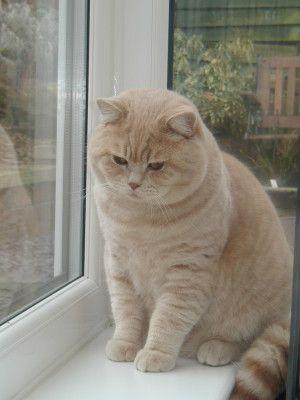Kot Brytyjski Krótkowłosy Liliowy Kulki Puchate Pinterest Cats