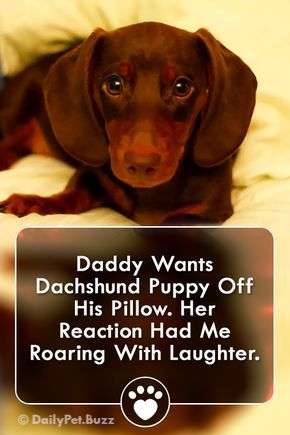 Daddy Wants Dachshund Puppy Off His Pillow. Dachshund Puppy Doesn't Think That Sounds Fun