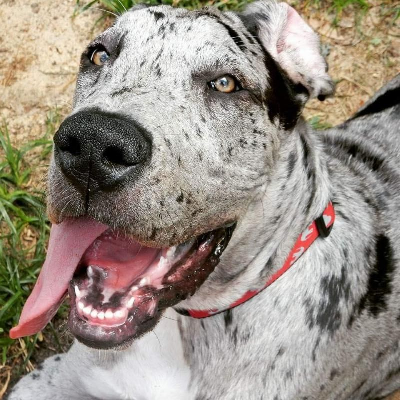 Adopt Harley on Great dane dogs, Great dane rescue
