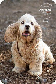 Phoenix Az Cocker Spaniel Basset Hound Mix Meet Bingo A Dog For Adoption Cocker Spaniel Basset Hound Mix Spaniel