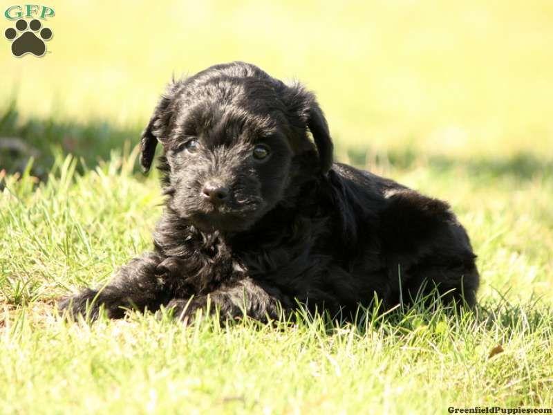 Krista, Yorkie Poo puppy for sale in Spring Glen, Pa