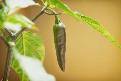 Indoor Pepper Care Growing Hot Pepper Plants Inside 400 x 300