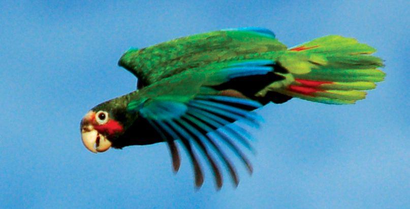 Cayman Parrot | Parrot, My animal, Cayman