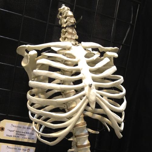 Ribcage Png 500 500 Anatomy Bones Skull And Bones Skull Reference
