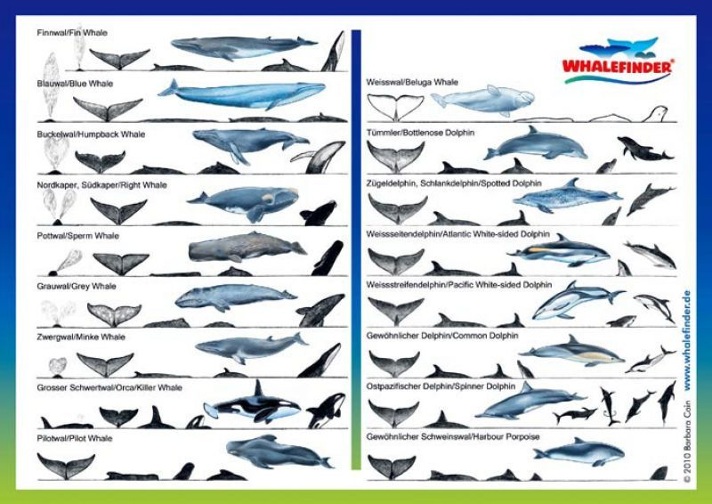 Another whale/dolphin identification chart! This is the largest ...