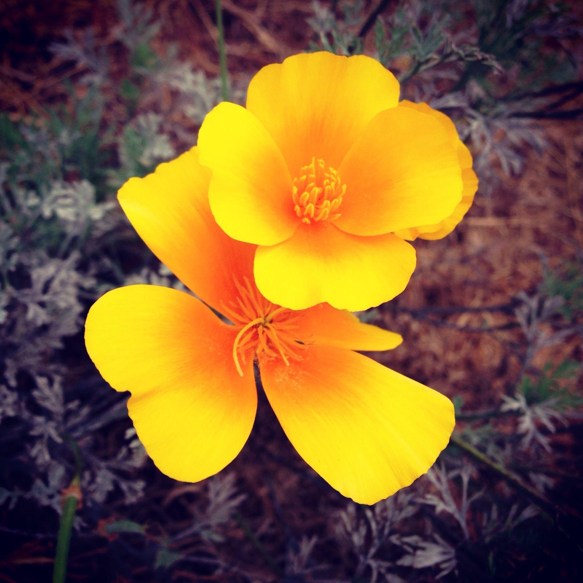The Golden Poppy California State Flower Tatoo ideas Pinterest