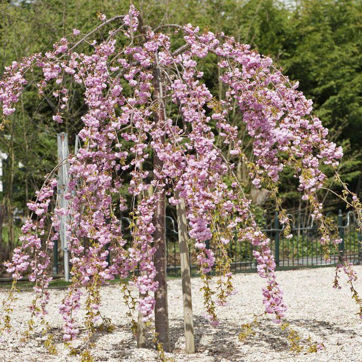 Hangende Nelkenkirsche Malerisches Ziergeholz Zierkirsche Straucher Garten Bluhende Pflanzen