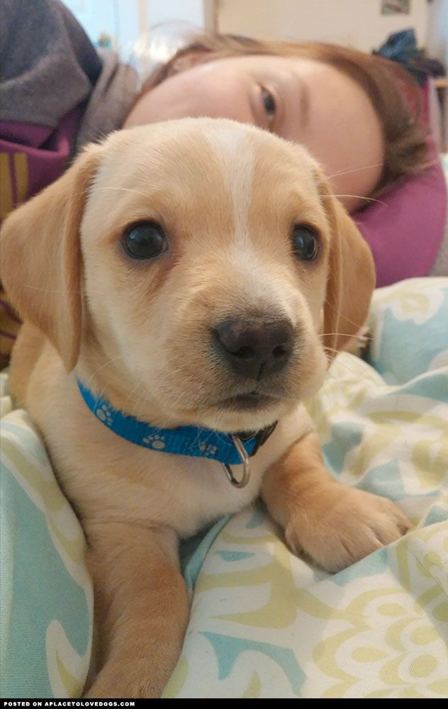 Everybody Meet This Cute Chiweenie Puppy Named Olaf Read More At