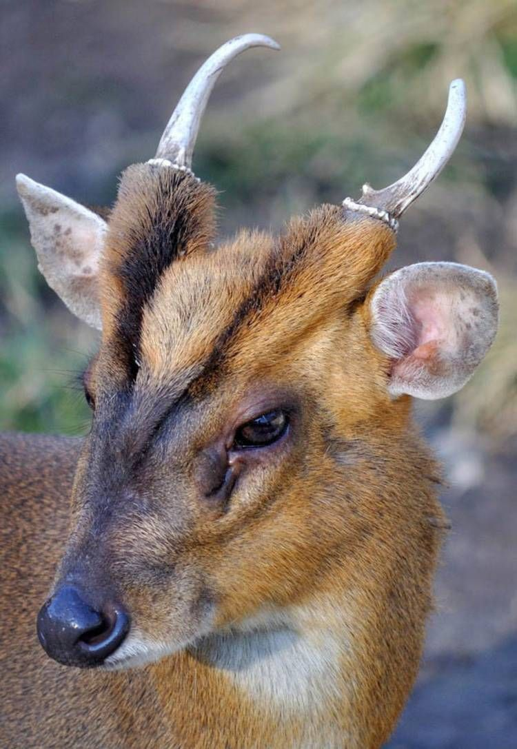 Muntjac often mistaken for a fox or brown dog in 2020