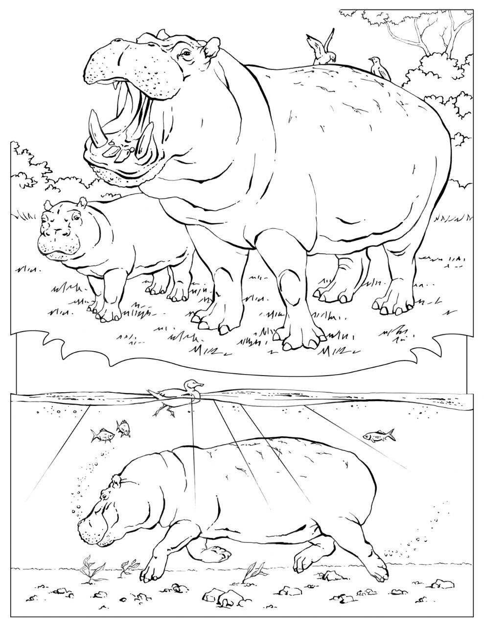 Hippopotamus hippo coloring page animals town animals color - Find This Pin And More On Hippos National Geographic Coloring Pages Coloring Book Animals