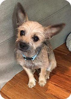 Atlanta Ga Chihuahua Yorkie Yorkshire Terrier Mix Meet