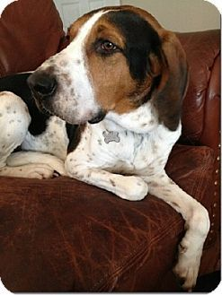 Treeing Walker Couonhound Photo Sacramento Area Ca Treeing