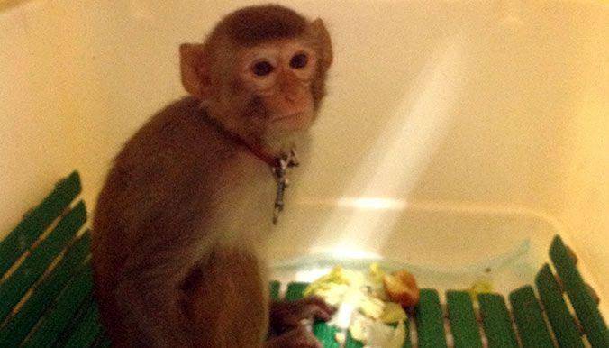 Une femelle macaque rhésus a été trouvée dans les rues de Villepinte (93). Elle a été confiée à la Fondation 30 Millions d'Amis. - Elle errait, effrayée, dans les rues de Villepinte avec son collier et un mousqueton autour du cou (05