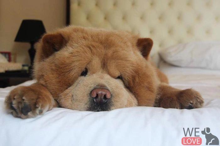 Meet Chowder Looks Like A Giant Teddy Bear In 2020 Bear Dog