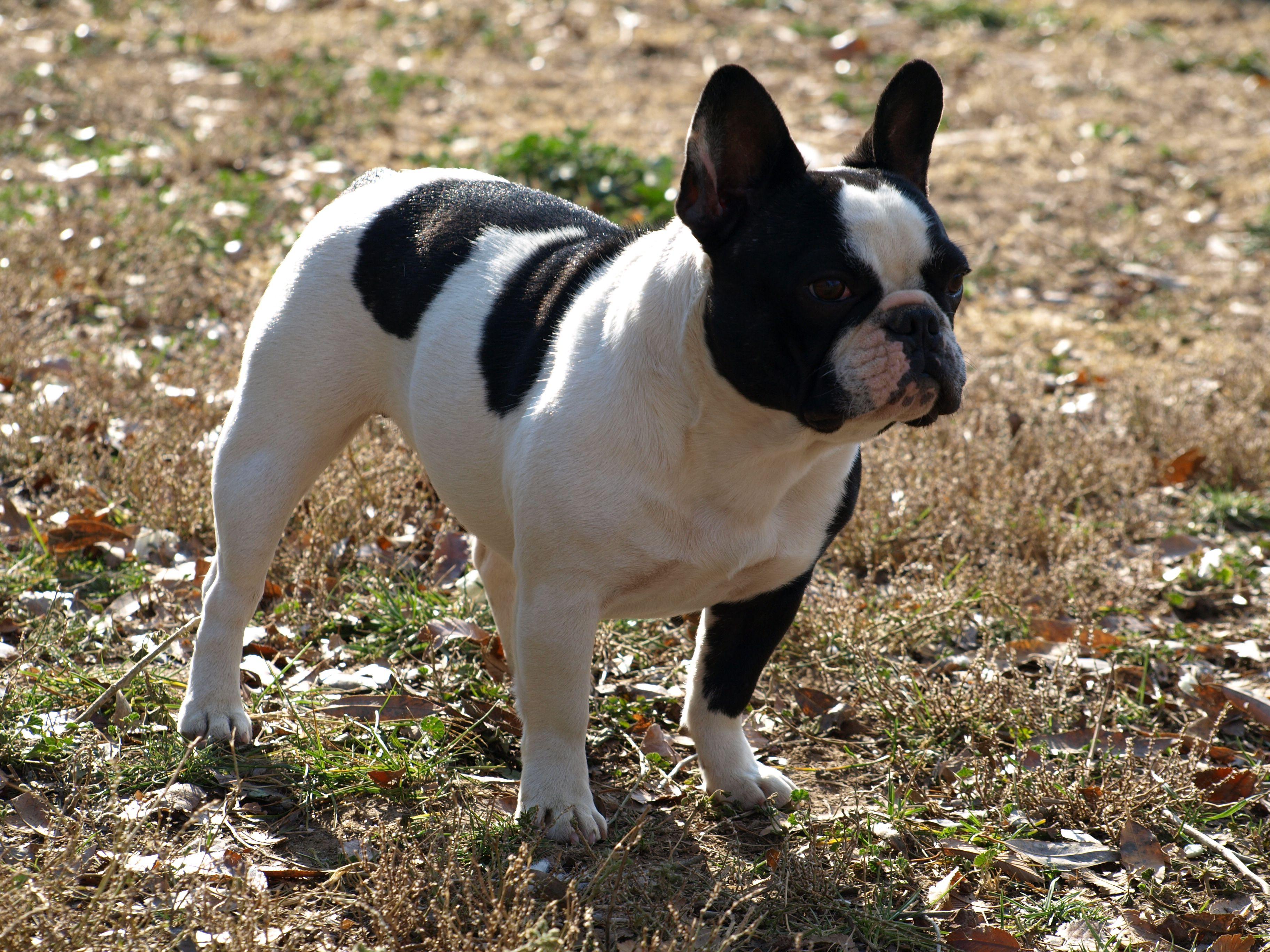 Bulldog Francez Bulldog Francez De Vanzare Pinterest Bulldog