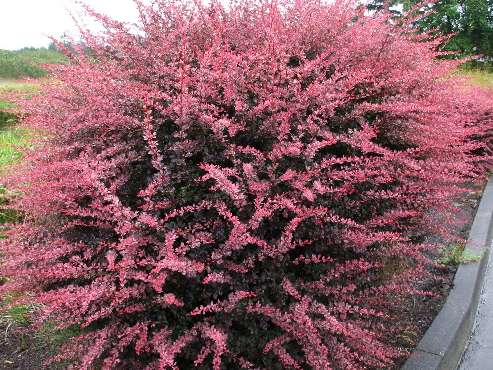small garden evergreen shrubs ideas