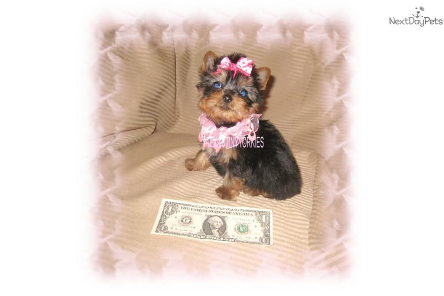 Baby Doll Face Micro Teacup Female Yorkie Yorkshire Terrier