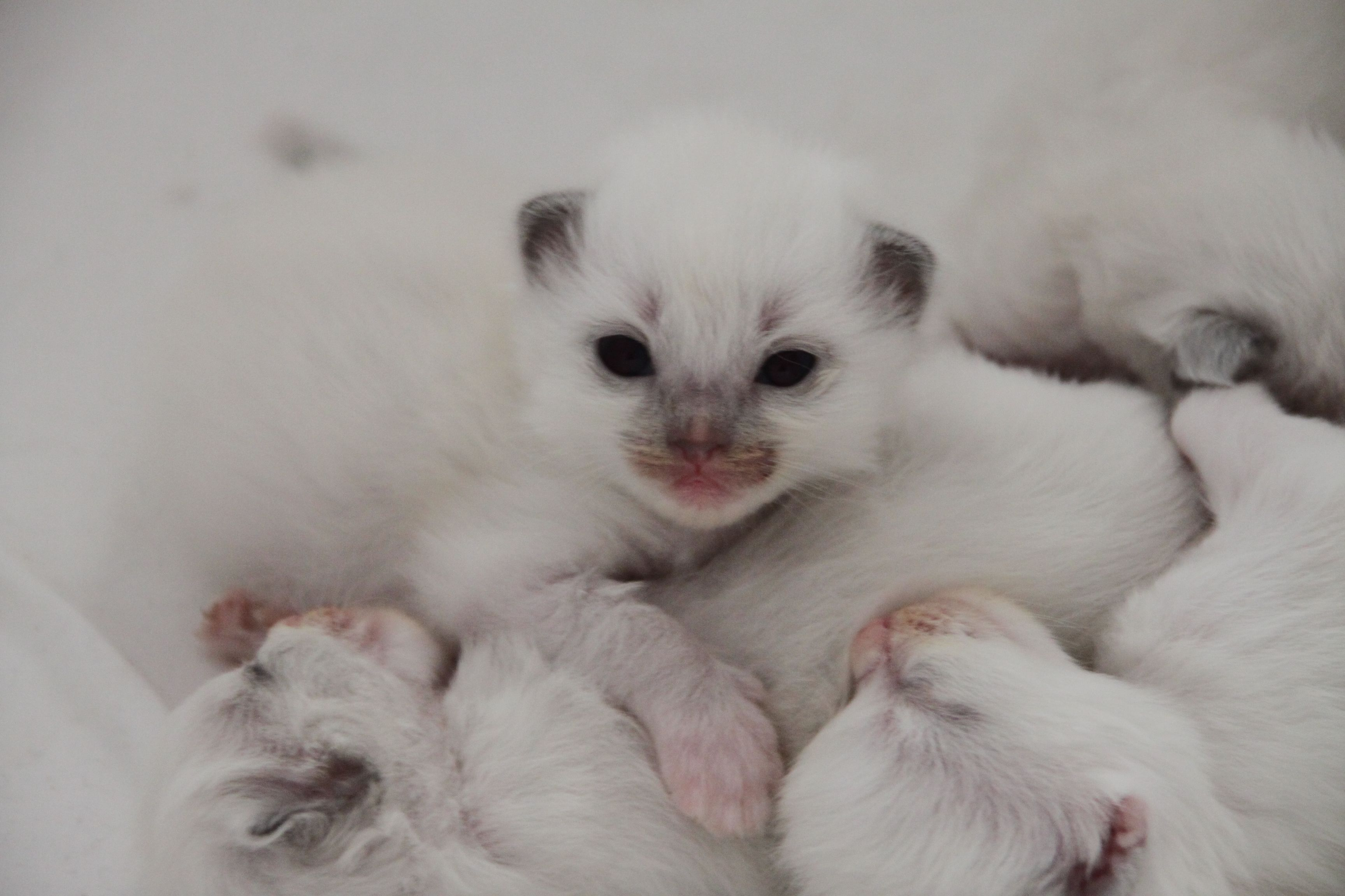 Ragdoll Kittens 2 Weeks Old 3 Www Rubysragdolls Com Ragdoll Kitten Dog Friends Cute Cats