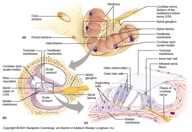 cochlea spiral diagram get wiring diagram solved identify the features indicated