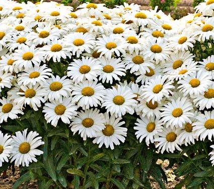 Leucanthemum x superbum Daisy May™
