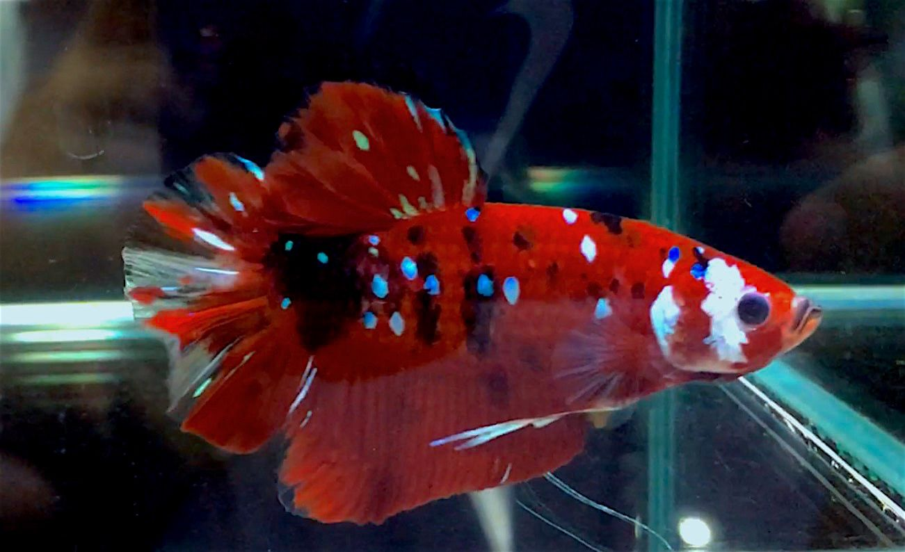 Pin by Johnny Cheung on Plakat Marble Tiger KOI Betta | Pinterest ...