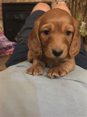 dachshund classifieds Dachshund puppy