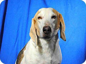 2 22 17 Urgent Ocala Fl Treeing Walker Coonhound Beagle Mix