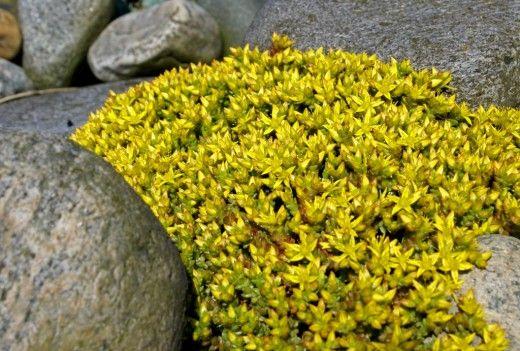 keltamaksaruoho, Suomessa luonnonvaraisenakin kasvava kalliokasvi (saariston kallioluodoilla tätä näkee usein)