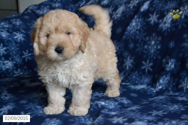 Mini Goldendoodle Puppy For Sale In Ohio Http Www Buckeyepuppies Com Puppy For Sale Mini Gold Mini Goldendoodle Goldendoodle Puppy Mini Goldendoodle Puppies