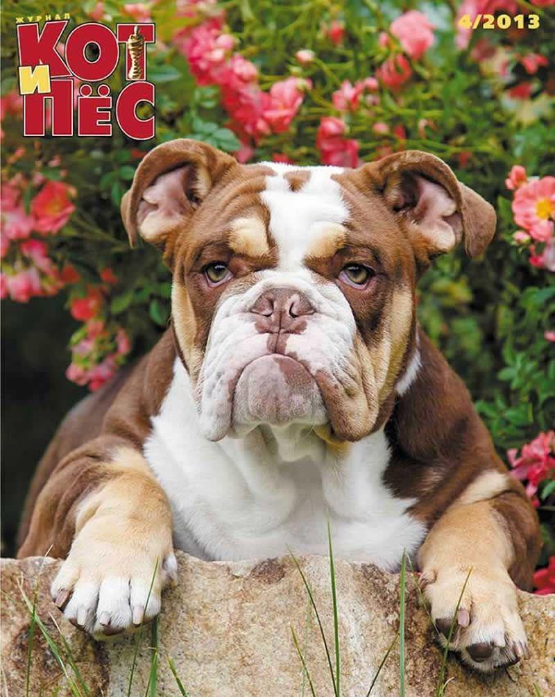 Shrinkabull S Chocolate Bulldog On Russian Magazine Cover