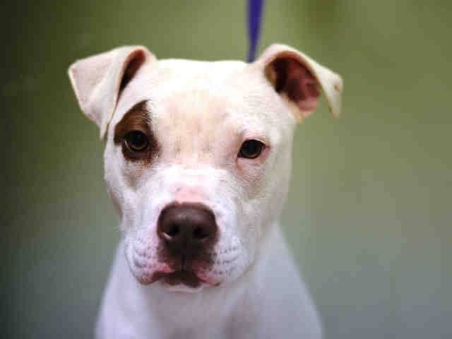 ♡♡♡ SAFE ♡♡♡ Manhattan Center NINTENDO - A1018420 NEUTERED MALE, WHITE / BROWN, PIT BULL MIX, 7 mos OWNER SUR - ONHOLDHERE, HOLD FOR ID Reason PERS PROB Intake condition EXAM REQ Intake Date 10/22/2014, From NY 11433, DueOut Date 10/22/2014, https://www.facebook.com/Urgentdeathrowdogs/photos/pb.152876678058553.-2207520000.1414267075./892127420800138/?type=3&theater