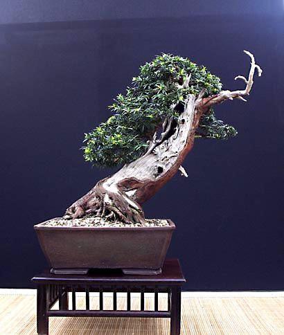 English Yew Taxus Baccata Bonsai Tree Bonsai Bonsai Tree Bonsai Plants