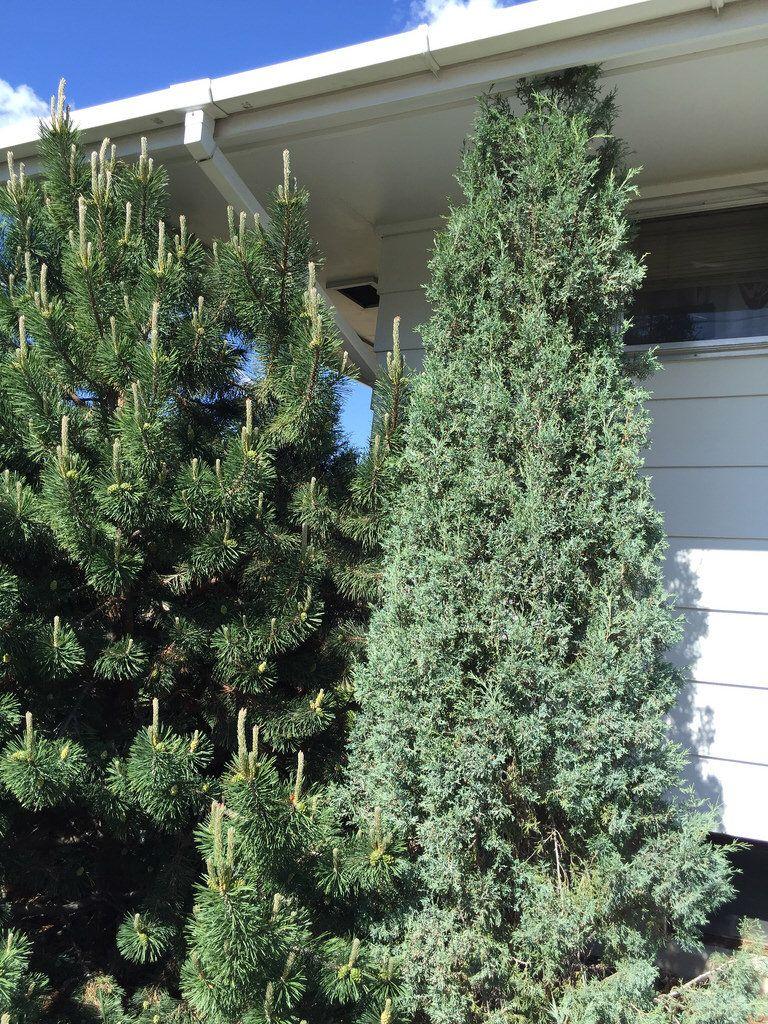 Side yard- eastern side:  trim bushes