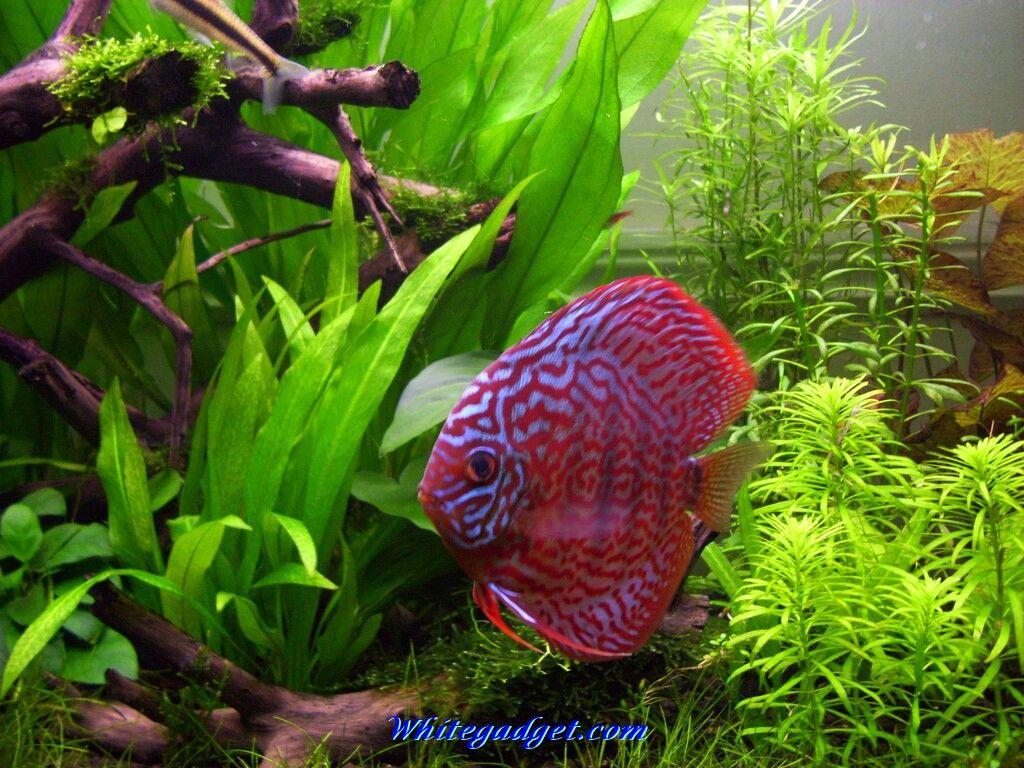 Fish aquarium quotes - Aquarium Ideen Quotes Best Images About Discus On Cichlids Driftwood For