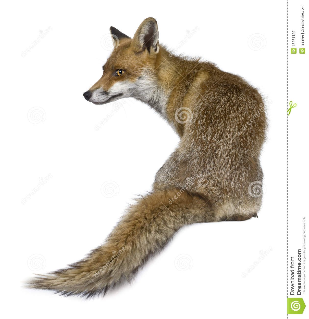Rear View Of Red Fox, 1 Year Old, Sitting Royalty Free Stock Images - Image: 15361129