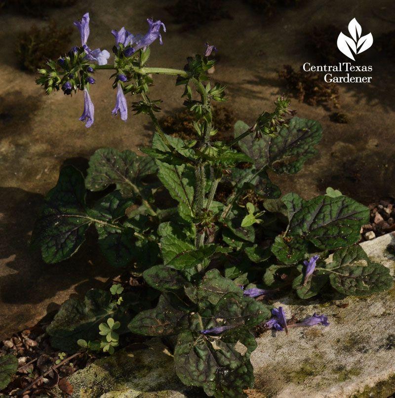 Healing plants & safe edibles for us & wildlife - native Salvia lyrata shade plant Central Texas Gardener