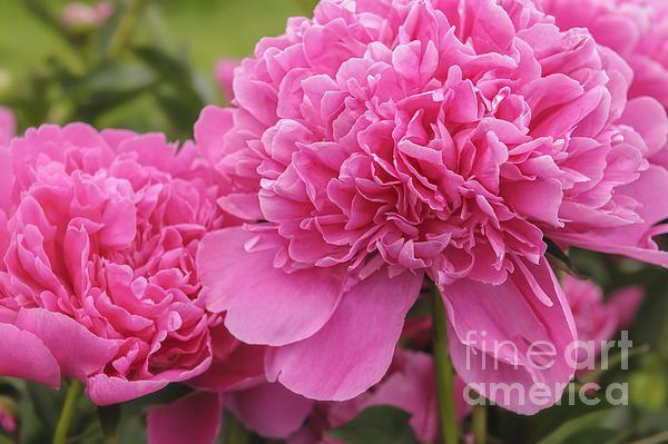 Title:  Beautiful Pink Peony Albert Crousse Paeonia Lactifora Albert Cro   Artist:  Marianne Campolongo   Medium:  Photograph - Fine Art Photograph