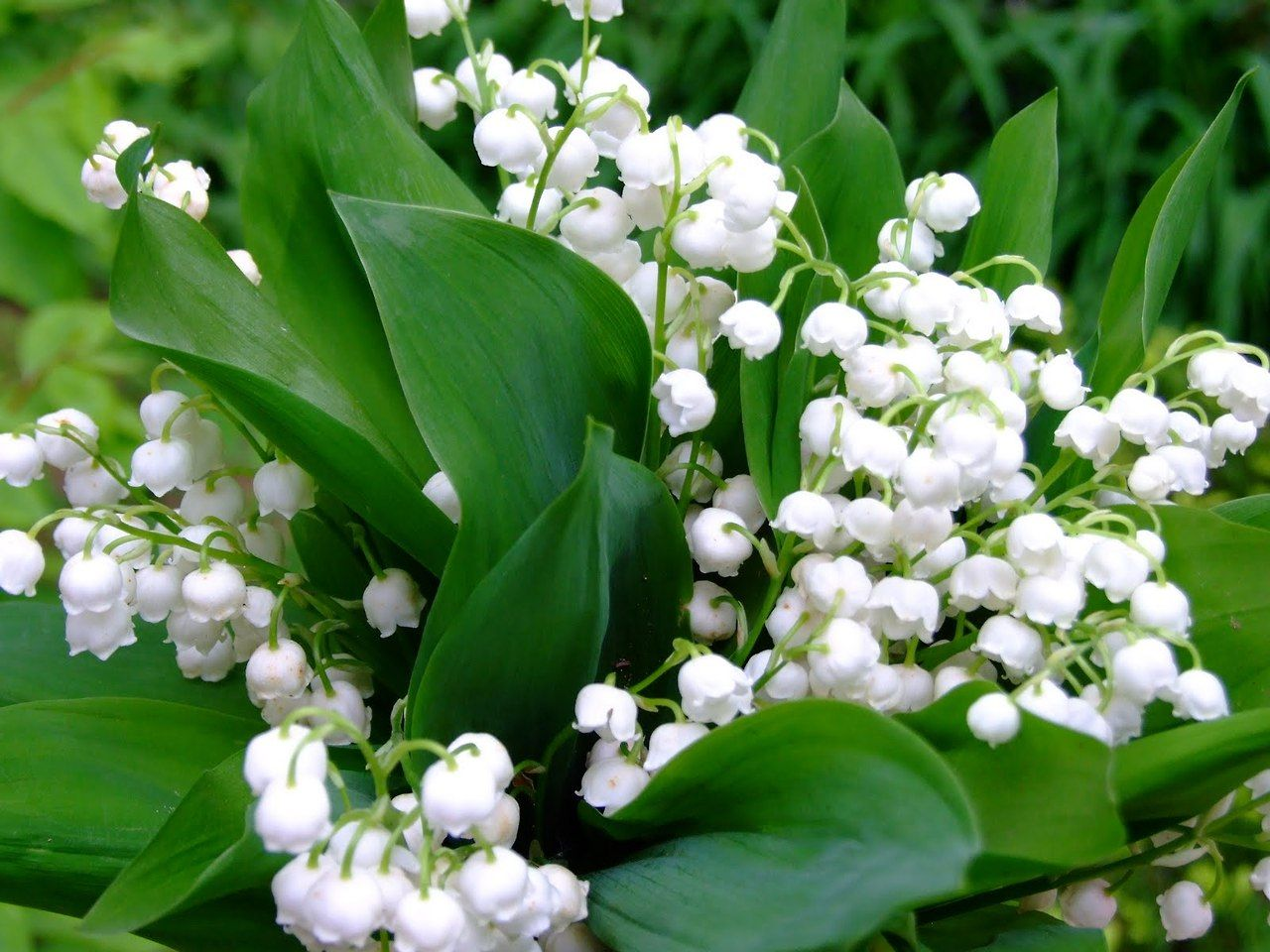 Lilies of the valley things i love pinterest item not found item 100 lily of the valley convallaria majalis landscape special lot live adult plants flowers 11090103 izmirmasajfo
