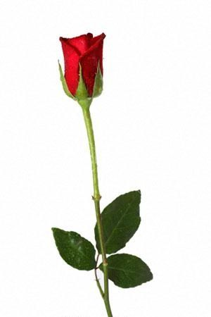 To Me One Single Long Stem Rose Means More Than A Dozen Types Of Roses Beautiful Flowers Rose