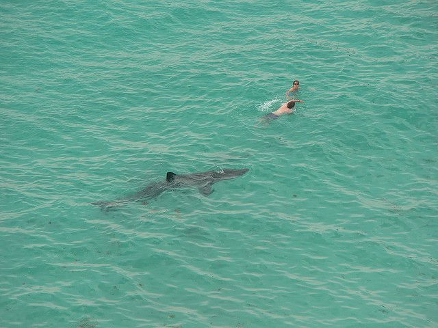Photo of Sharks near Swimmers | Shark Encounters – Close Calls with ...