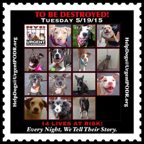 TO BE DESTROYED 05/19/15 - To rescue a Death Row Dog, Please read this:http://information.urgentpodr.org/adoption-info-and-list-of-rescues/ To view the full album, please click here: http://nycdogs.urgentpodr.org/tbd-dogs-page/ - Click for info & Current Status: http://nycdogs.urgentpodr.org/to-be-destroyed-4915/