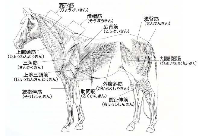 Horse Anatomy By Herman Dittrich Hind Legs: 馬 筋肉 - Google 検索
