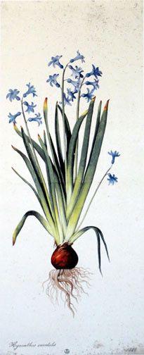 Hyacinthus Orientalis By Jacopo Ligozzi An International Museum