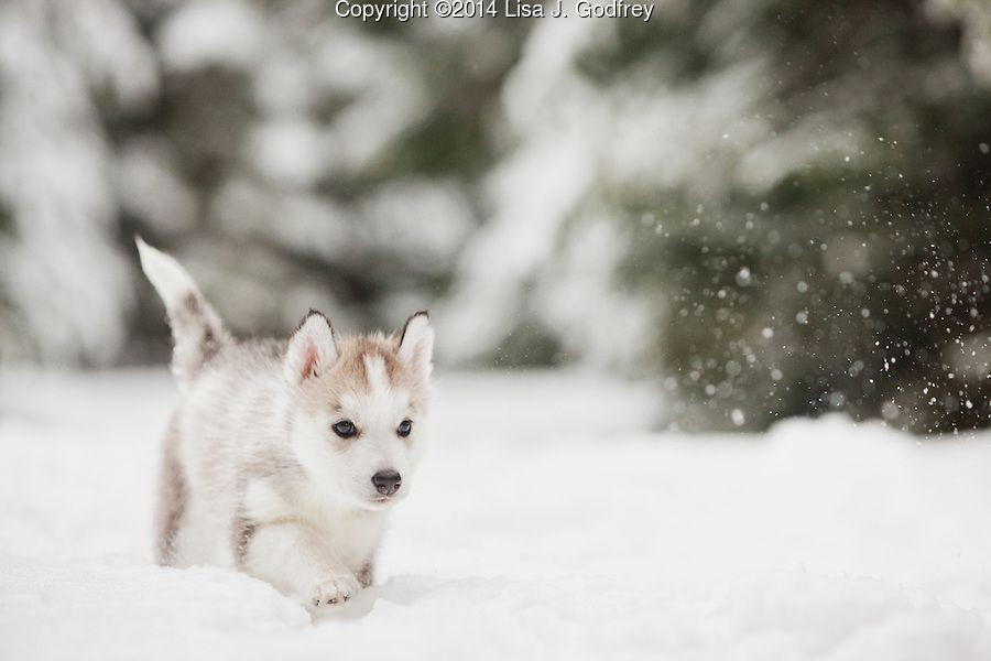 Siberian Husky Puppy Walking In The Snow Lisa J Godfrey Husky