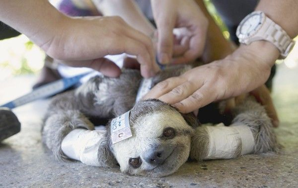 Pale Throated Sloth Three Toed Sloth Wildlife