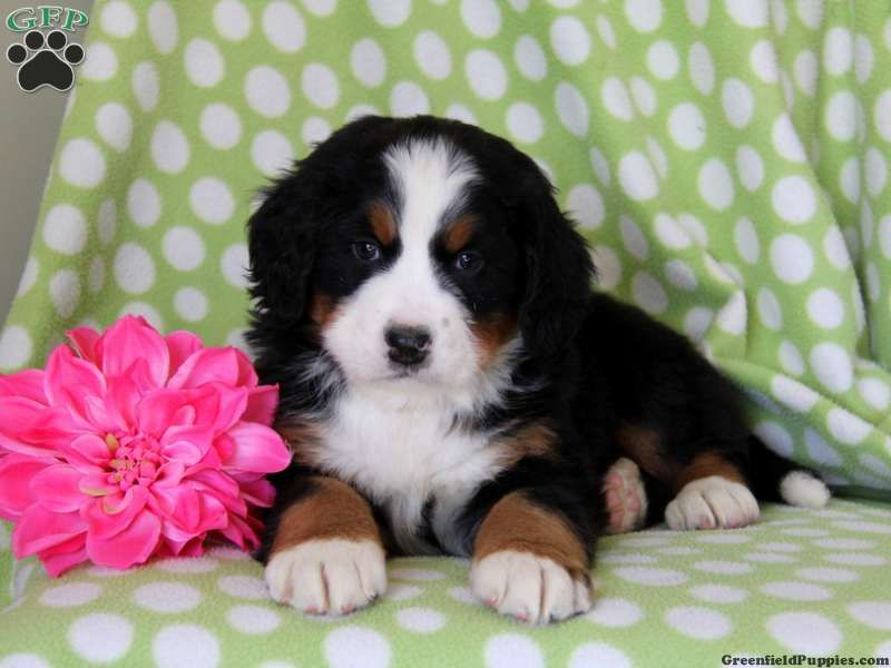Elsa bernese mountain dog puppy for sale in kinzers pa