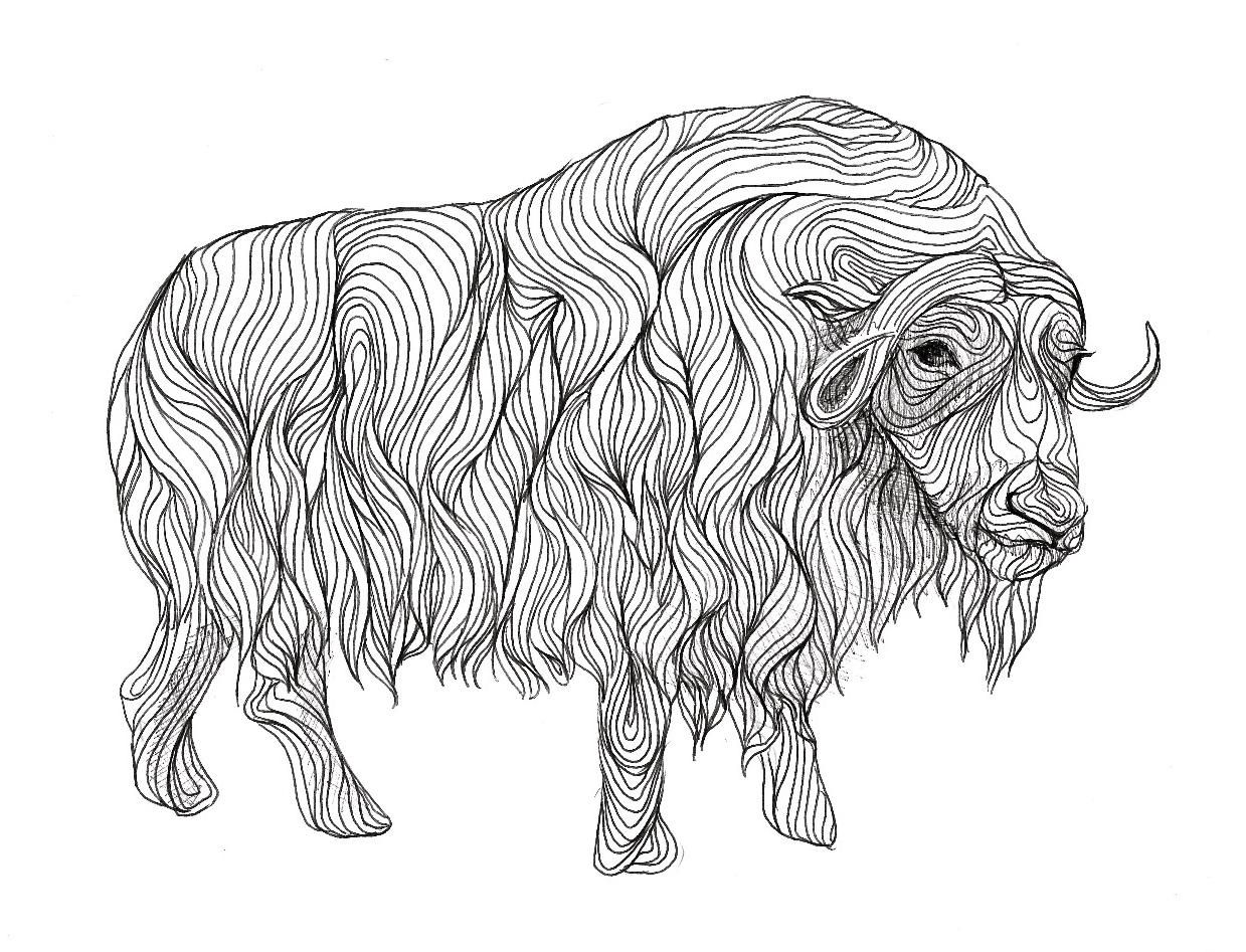 coloring pages of musk ox - photo#29